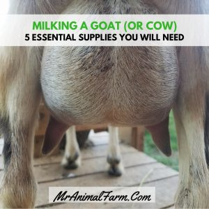Supplies for Milking a goat or cow