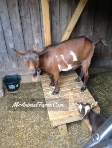 Goat on milk stand