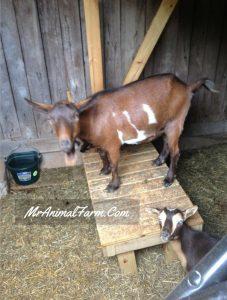 Goat Heat Signs
