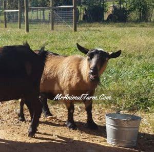 Goat Yelling