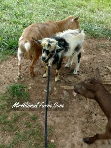 Doe an Buck Nigerian dwarf goats together