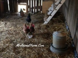chickens in coop with metal heated water