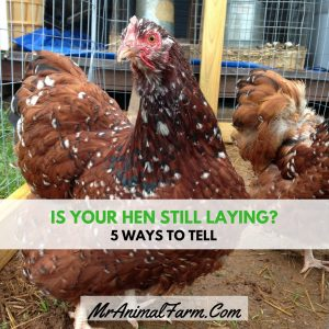 Is Your Hen Laying