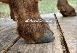 trim your goats hooves