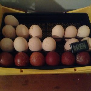 French Black Copper Marans Eggs