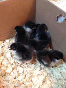 French Black Copper Marans Chicks in a box with pine shavings