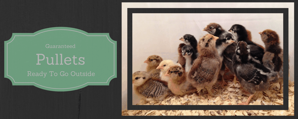 Pullets for Sale