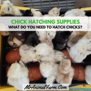 Chick Hatching Supplies