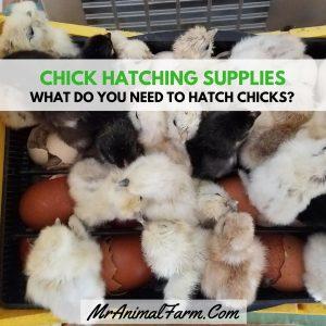 Chick Hatching Supplies