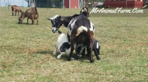 Goat gestation