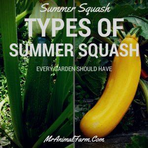 Summer Squash - Types of Summer Squash