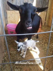 mom goat with newborn baby goat