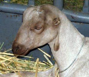 Lamancha goat