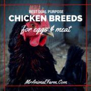 Best Dual Purpose Chicken Breeds