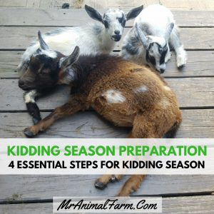 Kidding Season Preparation - 4 essential steps for kidding season