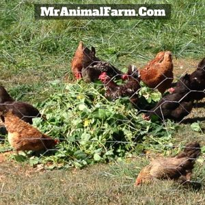 chickens eating garden scraps