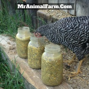 chicken eating from mason jar of fermented feed