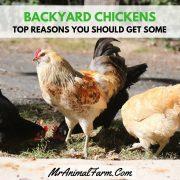 Top Reasons to Keep Backyard Chickens