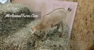 baby goat standing on bale of hay