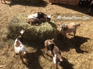 baby goats nibbling on bale of hay