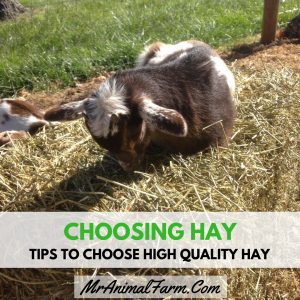 "baby goat sleeping on top of hay bale. Text reads, ""Choosing Hay. Tips to choose high quality hay"""