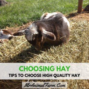 Choosing Hay – Tips to Choose High Quality Hay Instagram