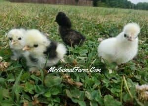 Silkie-Chickens