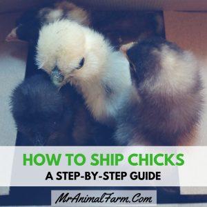 How to Ship Chicks