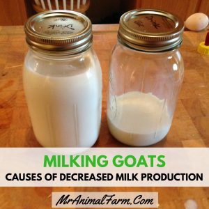 Milking Goats – Causes of Decreased Milk Production in Goats