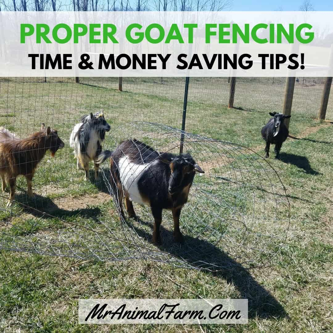 goat kidding signs 5 signs your goat may be ready to kid