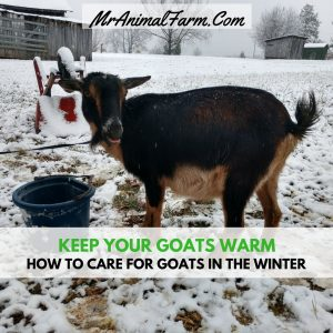 How To Care For Goats In Winter - Mranimal Farm Pygmy Goat House Plans For Cold Weather on maltese house plans, swine house plans, goat wagon plans, sheep hoop barn plans, goat housing plans, goat kidding pen plans, dog house plans, goat shelter plans, pygmy lamb, goat feeder plans, pigeon house plans, goat building plans, goat playground plans, snowy owl house plans, ostrich house plans, pygmy owls as pets, diy goat stanchion plans, chicken house plans, goat barn plans,