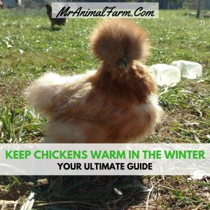 keeping chickens warm in winter
