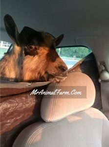 buck goat in backseat of car