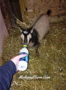 goat drinking a bottle of milk