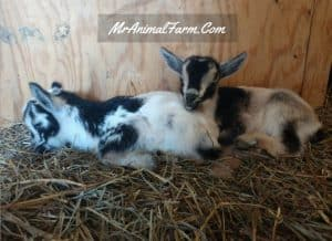 two baby goats laying together
