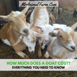 How Much Does a Goat Cost